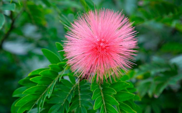 Цветущее розовым дерево розовое