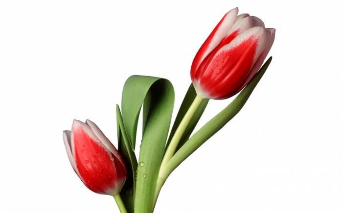 Обои два тюльпана картинки фото обои