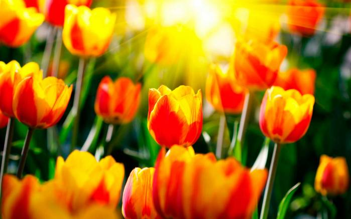 Желто красные тюльпаны тюльпаны