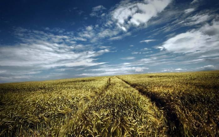 Обои поле пшеницы картинки фото обои