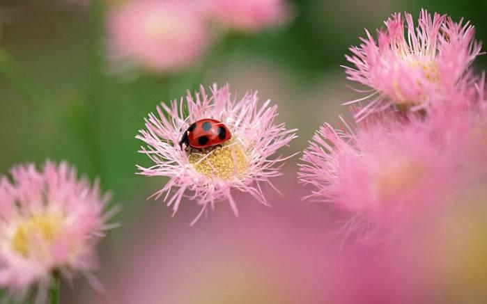 Божья коровка на розовом цветке божья
