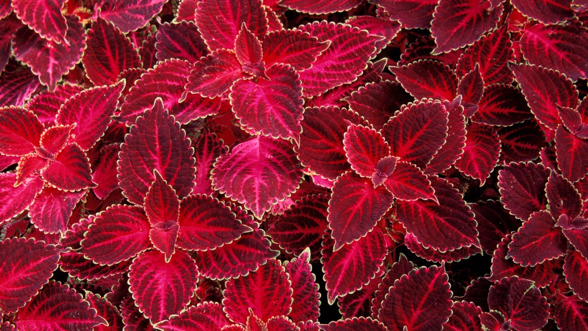 Красный ковер цветок фото
