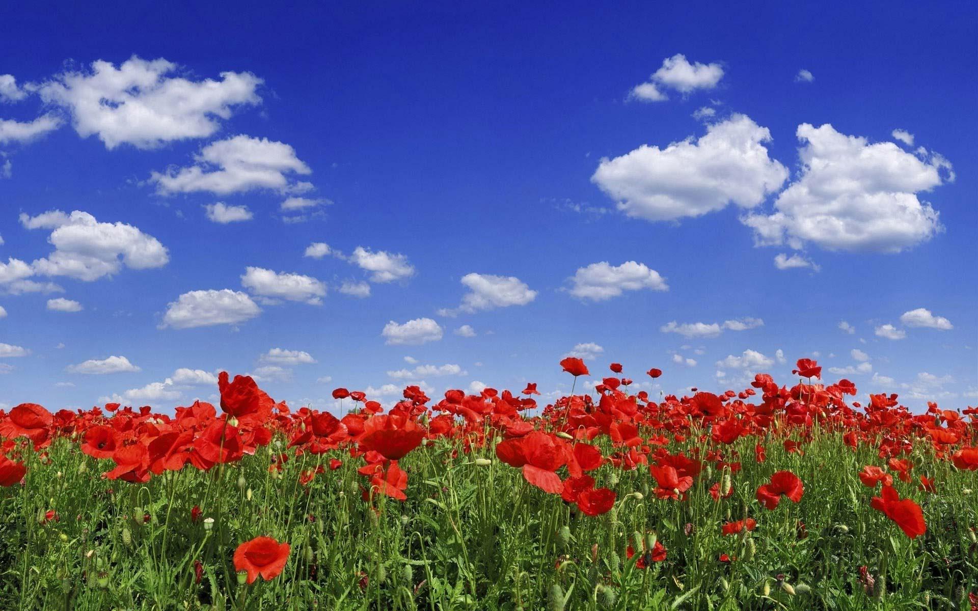 Обои маковое поле ярко красное поле