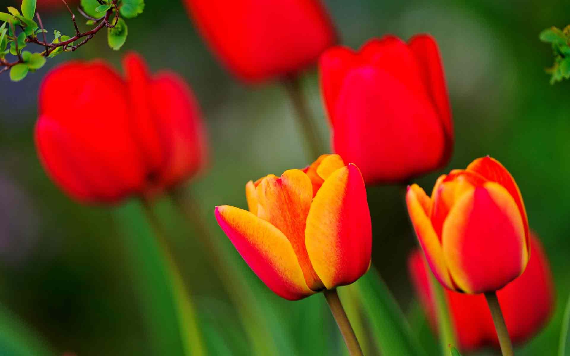 Яркие тюльпаны ярко красные тюльпаны
