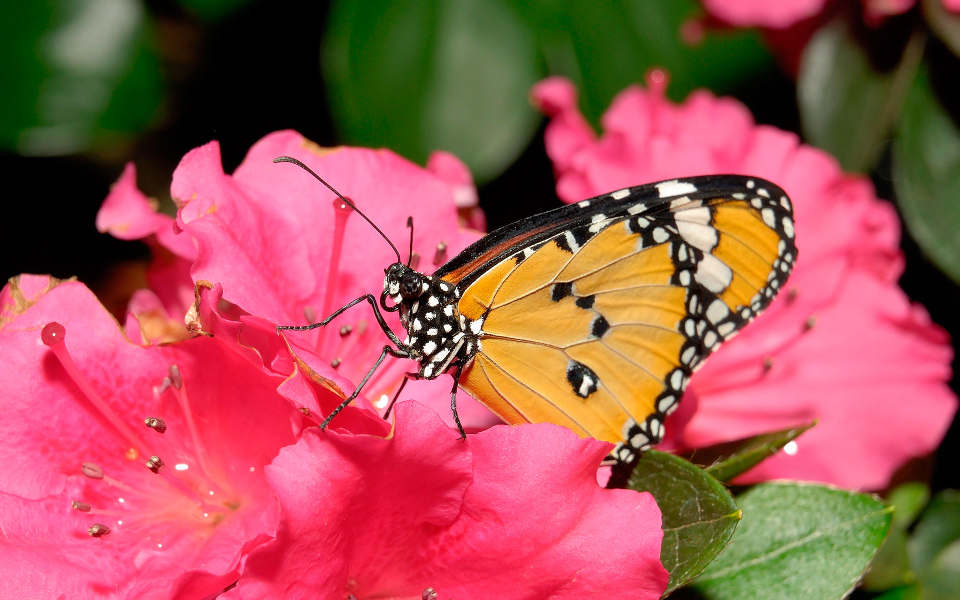 Фото 2 бабочек на цветке