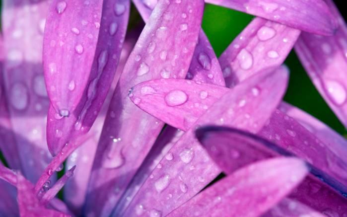 Обои фиолетовые лепестки картинки