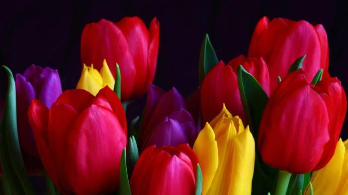 Обои цветные тюльпаны весенние цветы