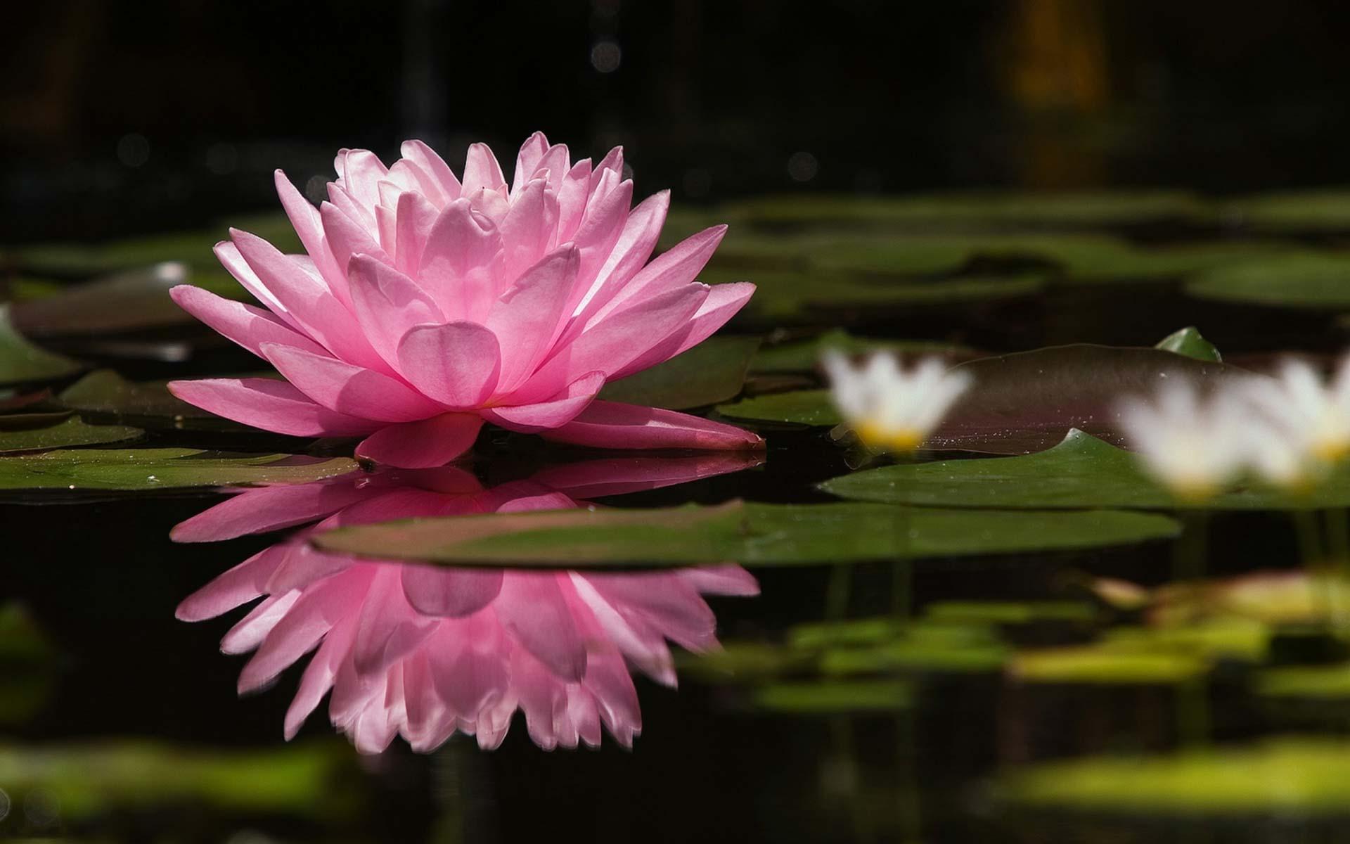 Розовая водяная лилия лилия на воде