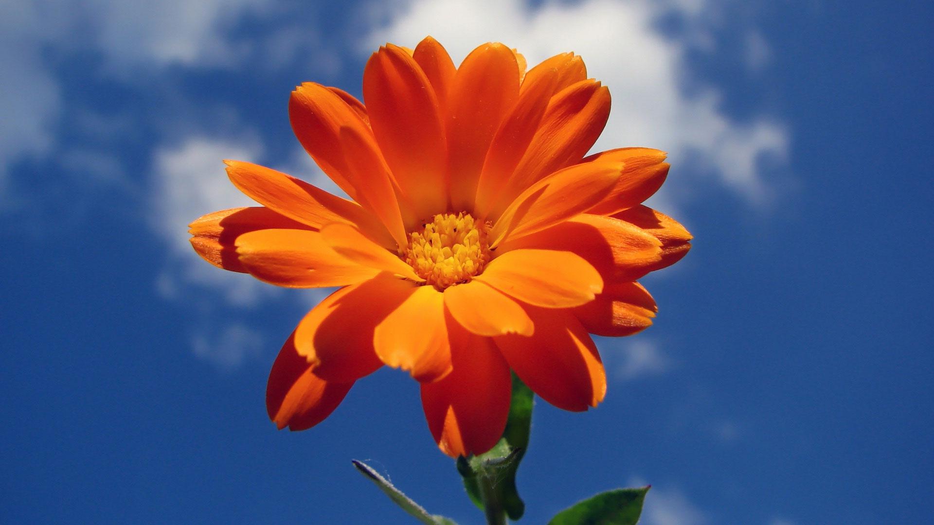 Картинки по запросу оранжевый цветочек