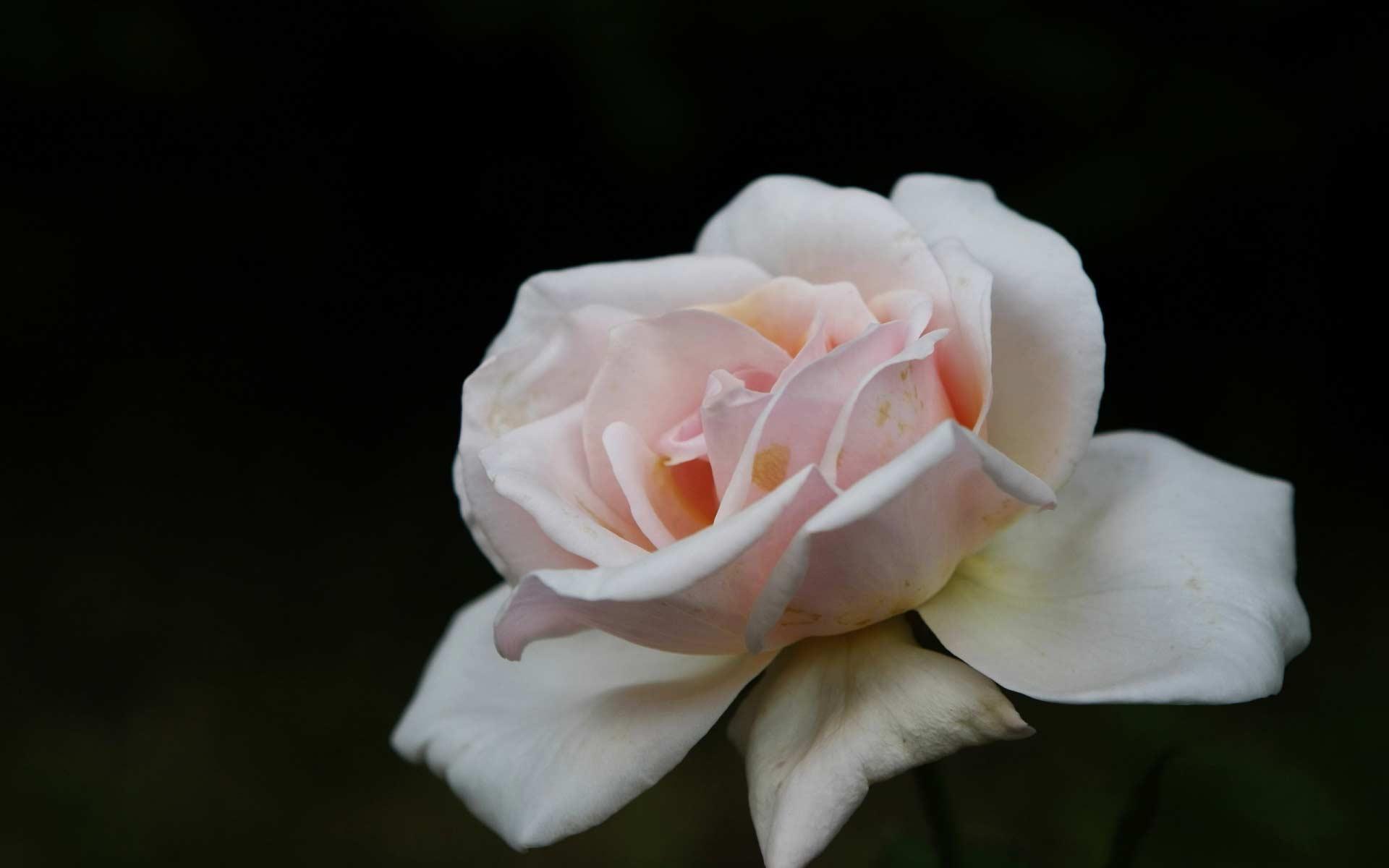 Обои нежная белая роза картинки фото