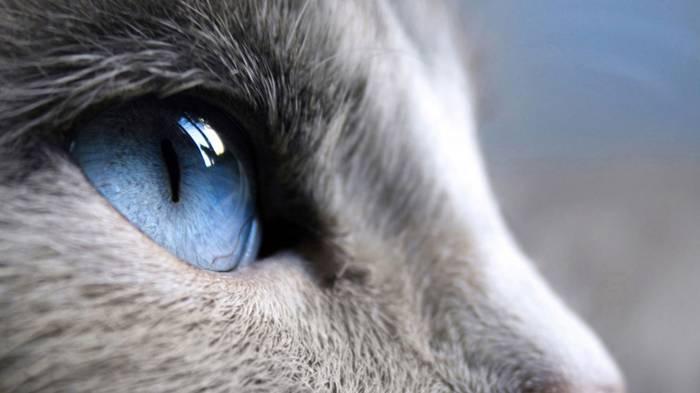 Широкоформатные обои Взгляд вверх, Кошачий голубой взгляд
