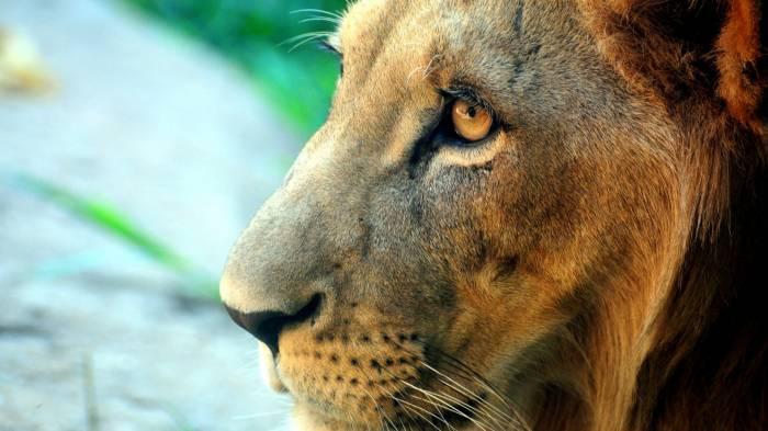 Обои лицо льва картинки фото обои для