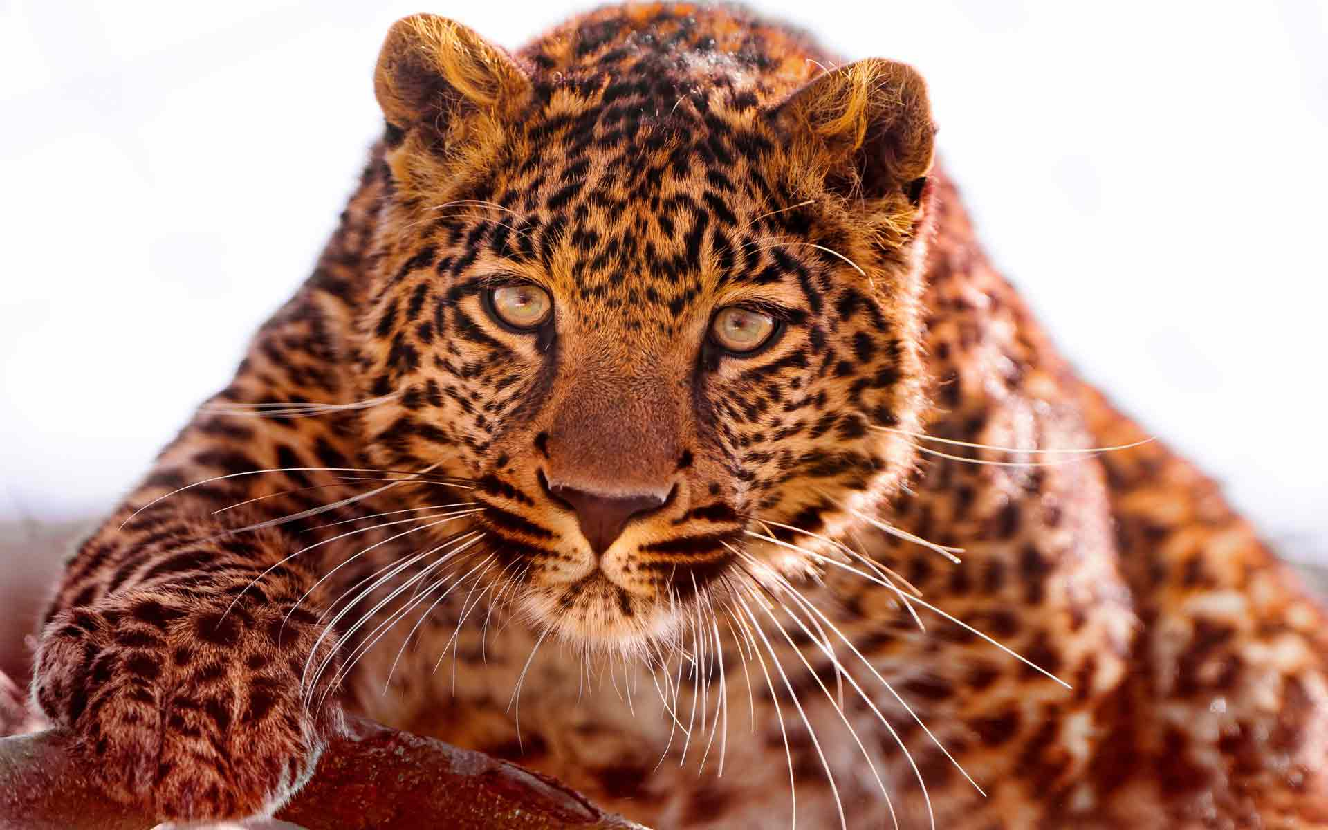 Обои Взгляд агрессии, картинки - Обои на рабочий стол ...  Взгляд Леопарда